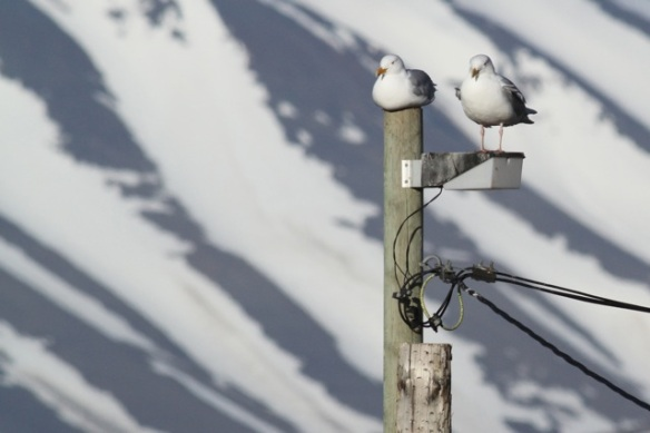 Glaucous gull couple on pole, Svalbard, 7 June 2013