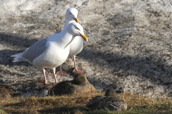 Glaucous gull couple, Svalbard, 7 June 2013