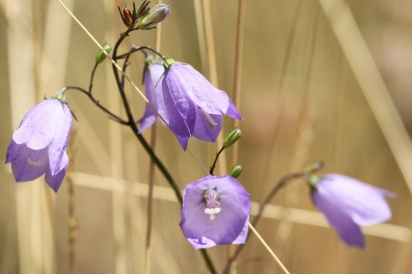 Harebell flowers, 21 July 2013