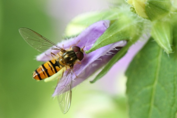 Hoverfly, 21 July 2013