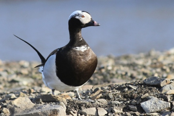 Long-tailed duck male standing, Svalbard, 7 June 2013