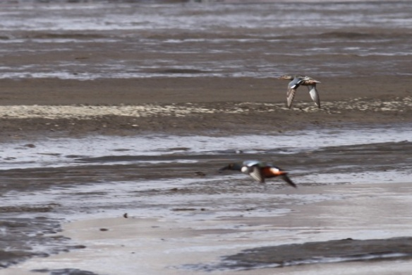 Northern shoveler couple flying, Svalbard, 8 June 2013