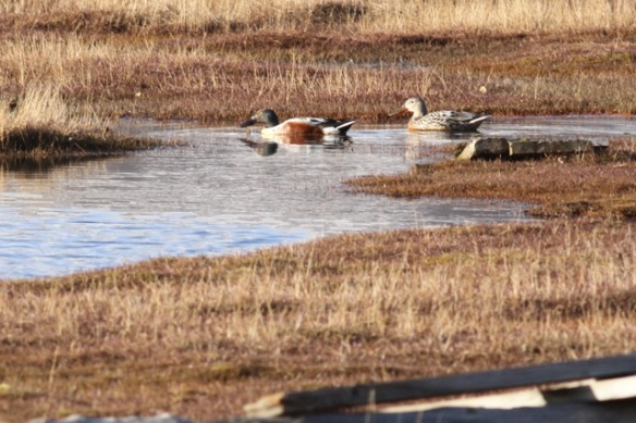 Northern shoveler couple, Svalbard, 7 June 2013