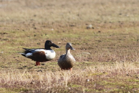 Northern shoveler couple, Svalbard, 8 June 2013
