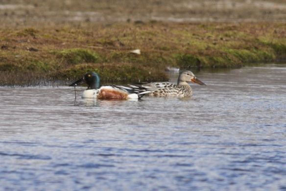 Northern shoveler couple swimming, Svalbard, 8 June 2013