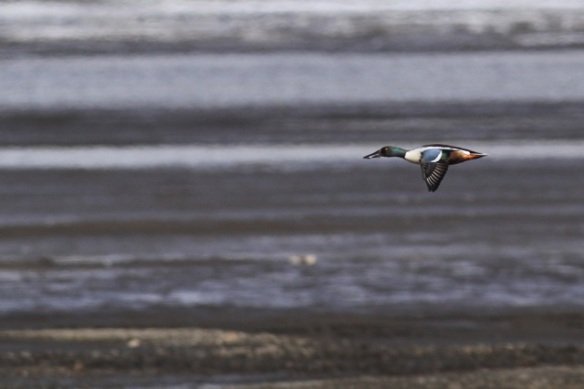 Northern shoveler male still flying, Svalbard, 8 June 2013