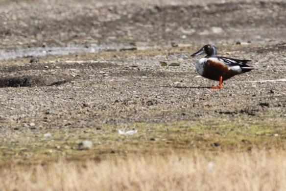 Northern shoveler male, Svalbard, 8 June 2013