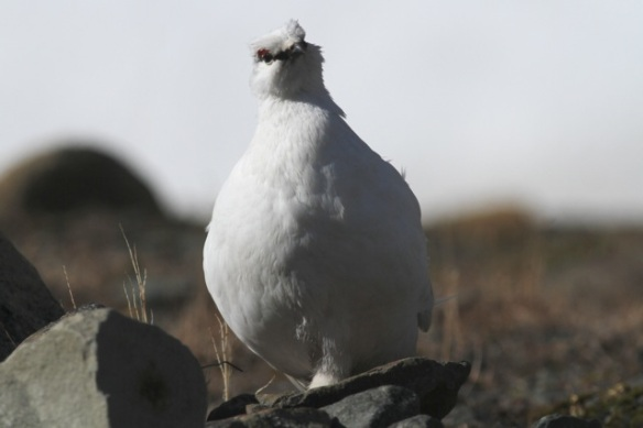 Ptarmigan male, still on Svalbard, 8 June 2013