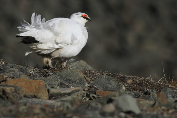Ptarmigan male, Svalbard, 8 June 2013