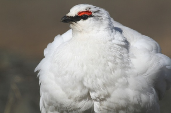 Ptarmigan male, Svalbard, on 8 June 2013