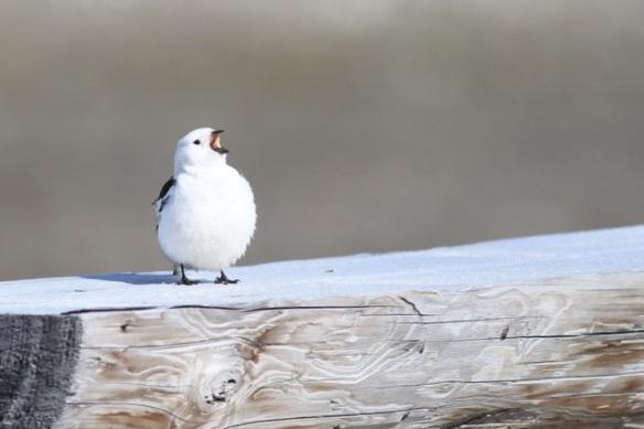 Snow bunting male singing, Svalbard, 7 June 2013