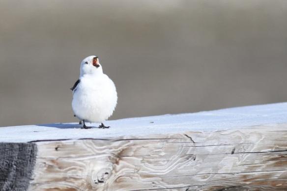 Snow bunting male still singing, Svalbard, 7 June 2013