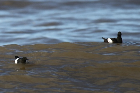 Two black guillemots, Svalbard, 7 June 2013