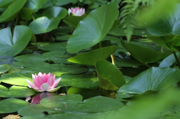 Water lilies, 21 July 2013