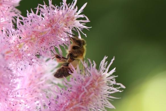 Honeybee, 4 August 2013