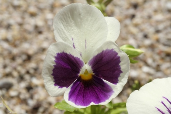 Pansy, 4 August 2013