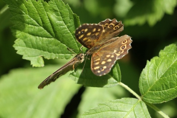 Speckled wood butterflies, 4 August 2013