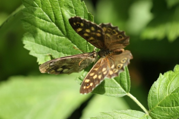 Speckled wood butterflies on leaf, 4 August 2013