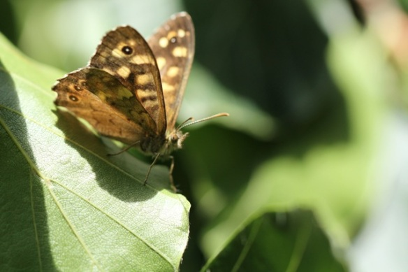 Speckled wood butterfly, 4 August 2013