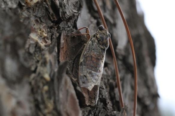 Cicada on Aleppo pine, Italy, 16 September 2013