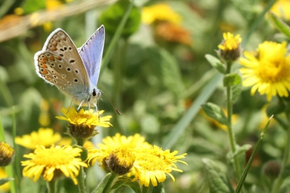 Common blue butterfly, Italy, 13 September 2013