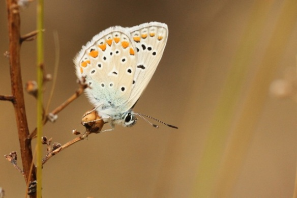 Common blue, Italy, 15 September 2013