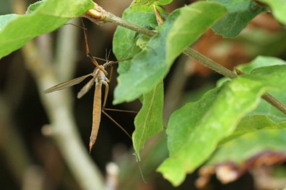 Cranefly, Losdorp, 6 September 2013