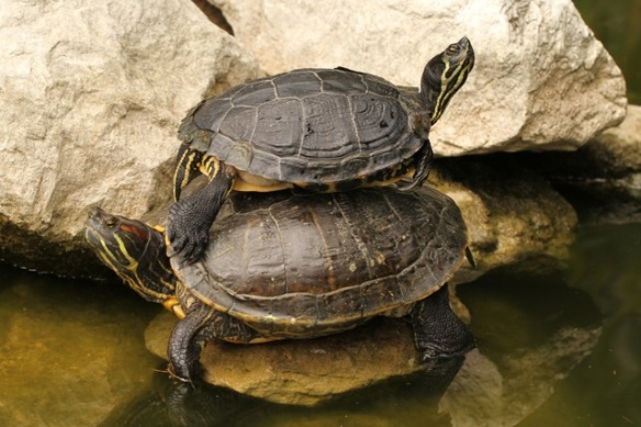 Cumberland turtle, top, and red-eared slider, bottom, Italy, 16 September 2013