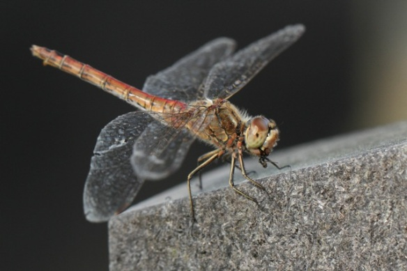 Dragonfly on tombstone, Losdorp, 6 September 2013