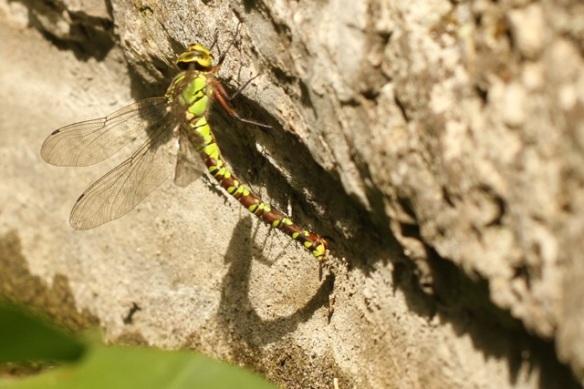 Emperor dragonfly female, Italy, 16 September 2013
