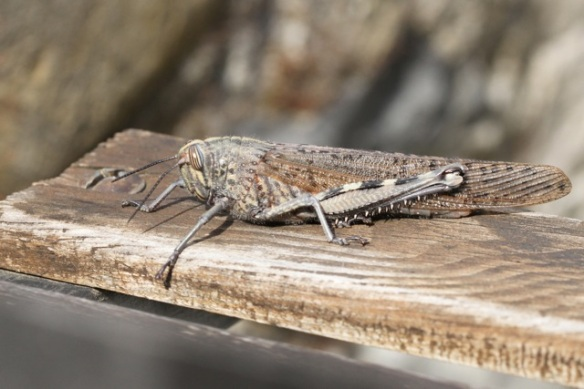 Grasshopper, Italy, 13 September 2013