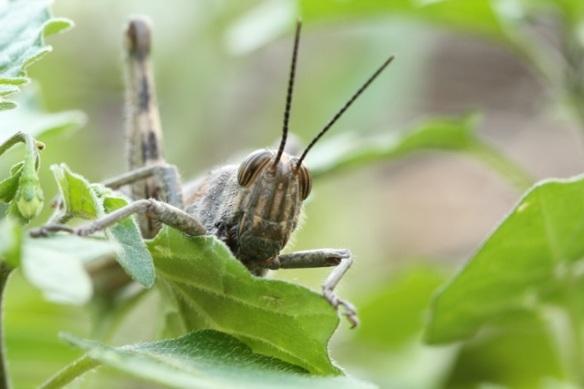Grasshopper, Italy, 15 September 2013
