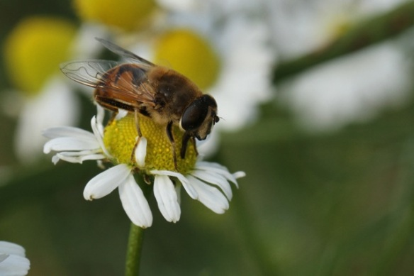 Hoverfly on flower, Losdorp, 7 September 2013