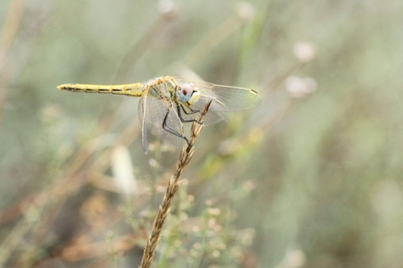 River clubtail, Italy, 15 September 2013