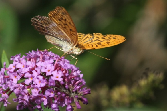 Silver-washed fritillary, 14 September 2013