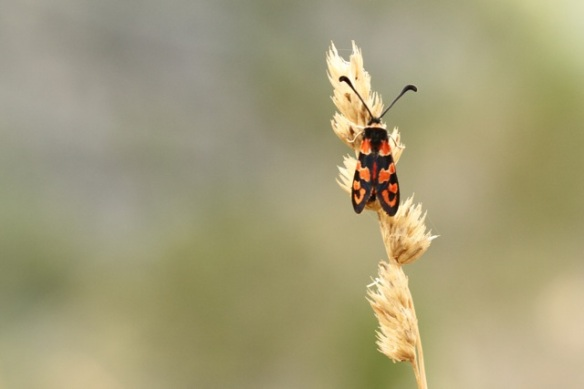 Six-spot burnet moth, Italy, 15 September 2013