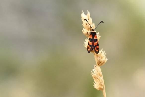 Six-spot burnet moth, Italy, 15 September 2013