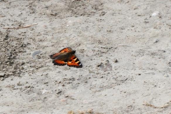 Small tortoiseshell, Losdorp, 6 August 2013