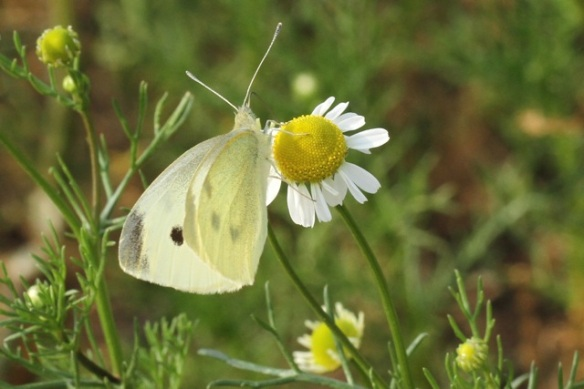Small white butterfly, Losdorp, 6 September 2013