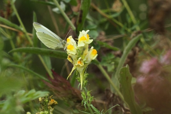 Small white butterfly on snapdragon flower, Losdorp, 6 September 2013