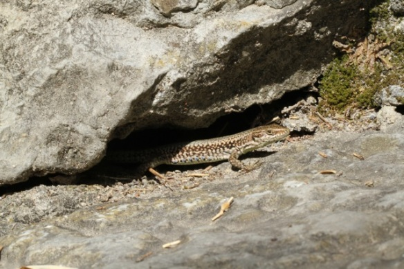 Wall lizard, Italy, 16 September 2013