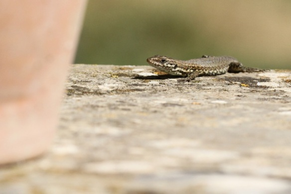 Young wall lizard near flower pot, Italy, 15 September 2013