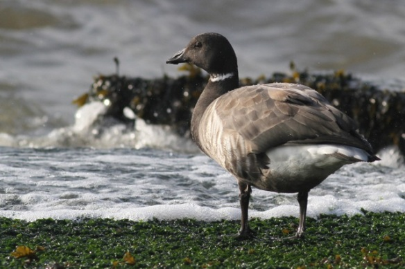 Brent goose and bigger incoming wave, IJmuiden, 20 October 2013