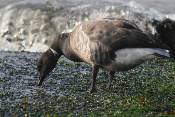 Brent goose feeds on seaweed, IJmuiden, 20 October 2013