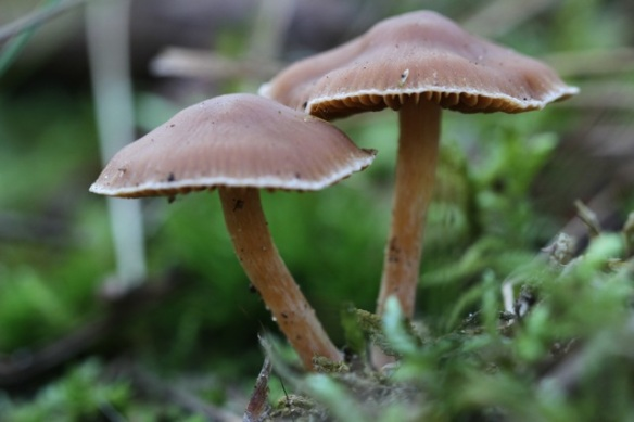Cortinarius