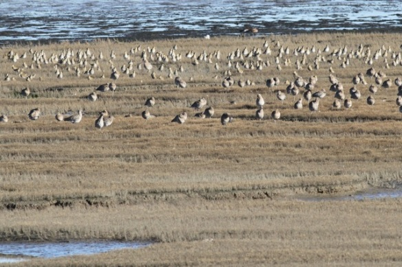 Curlews and dunlins, Mokbaai, 24 October 2013