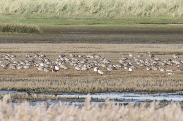 Curlews resting, Mokbaai, 24 October 2013