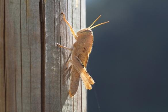 Grasshopper, Italy, 18 September 2013