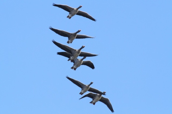 Grey lag geese flying, Mokbaai, 24 October 2013