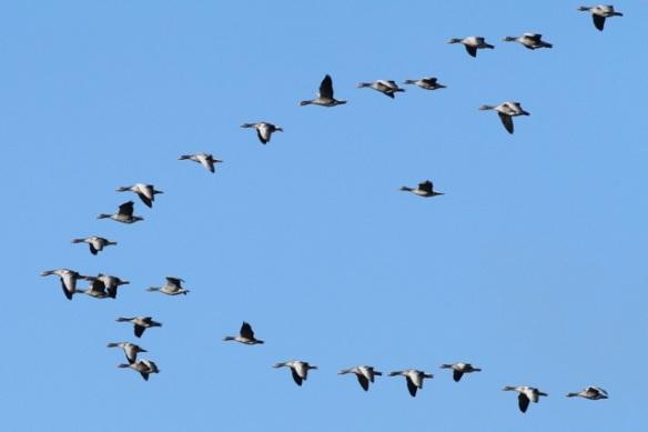 Grey lag geese, Mokbaai, 24 October 2013